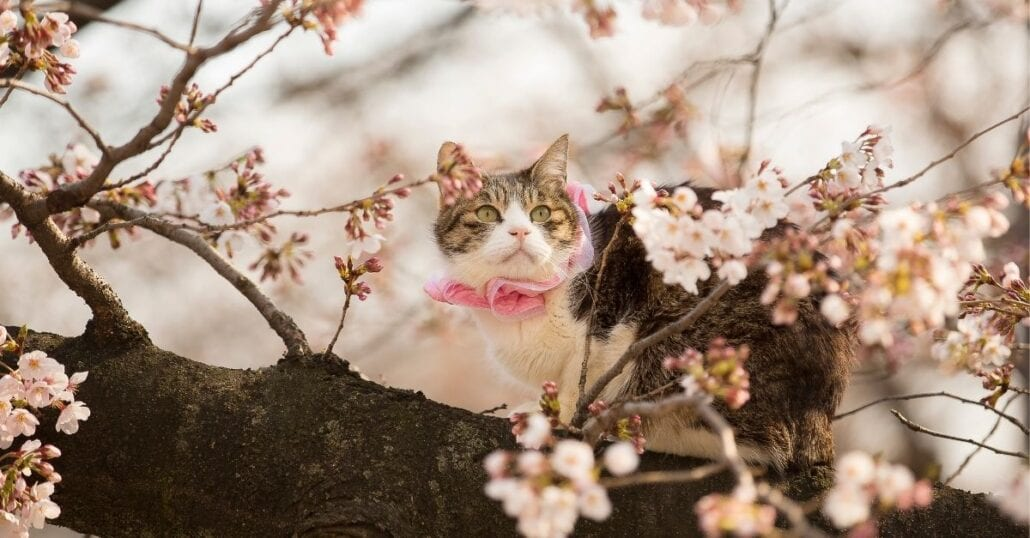 Kitten up on a cherry blossom tree, in Japan.