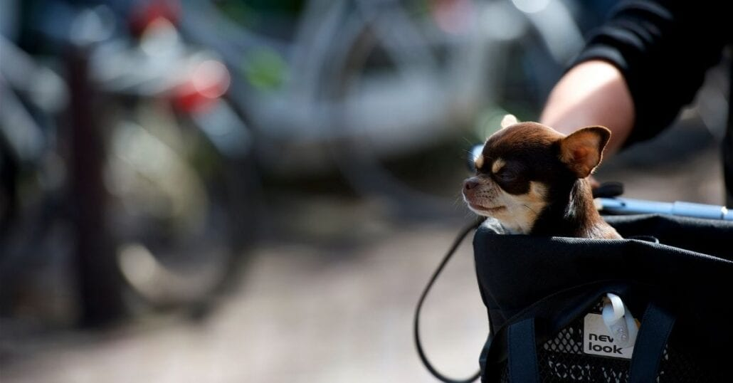 White and brown chihuahua on a bicycle carrier.