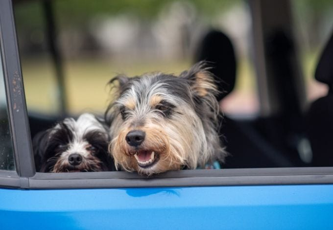 Two small dogs inside a blue car looking over the winder.