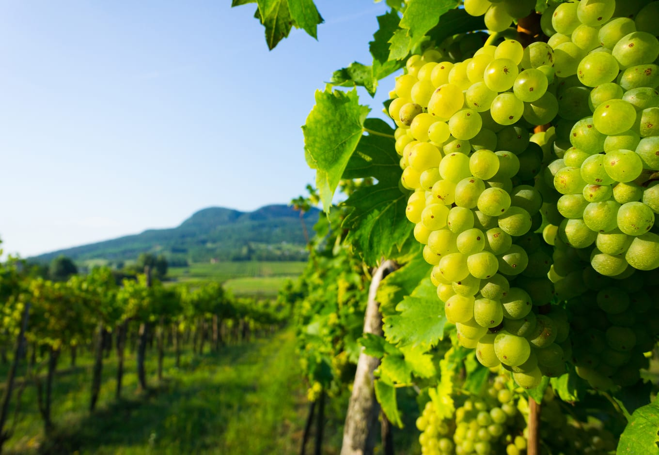 Wine grapes in vineyard close to Badacsony hill, in Hungary