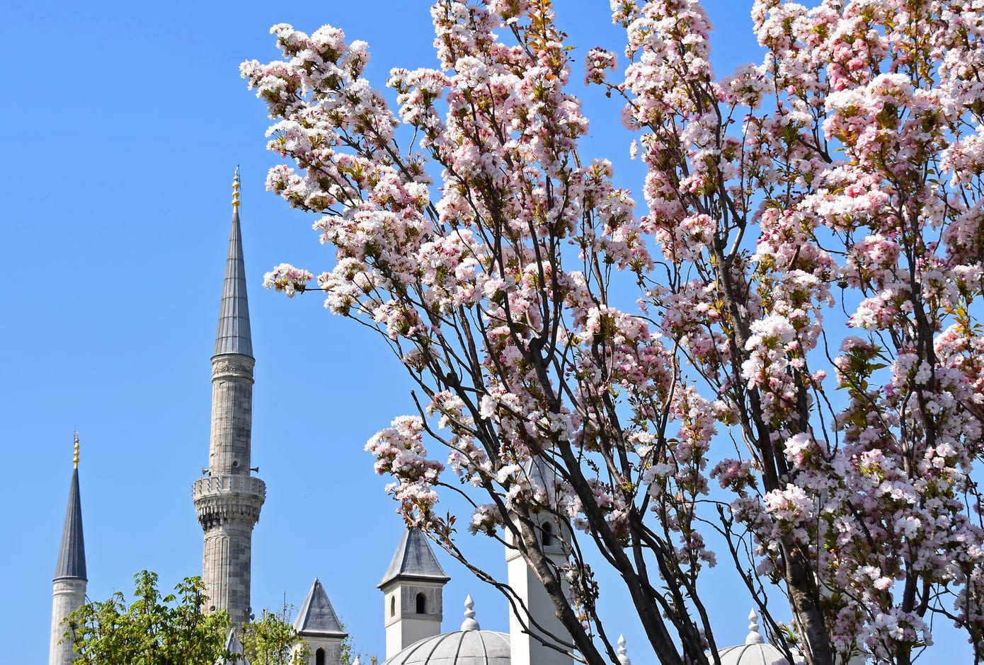 Branches of blossoming sakura in front of a mosque in Istanbul, Turkey