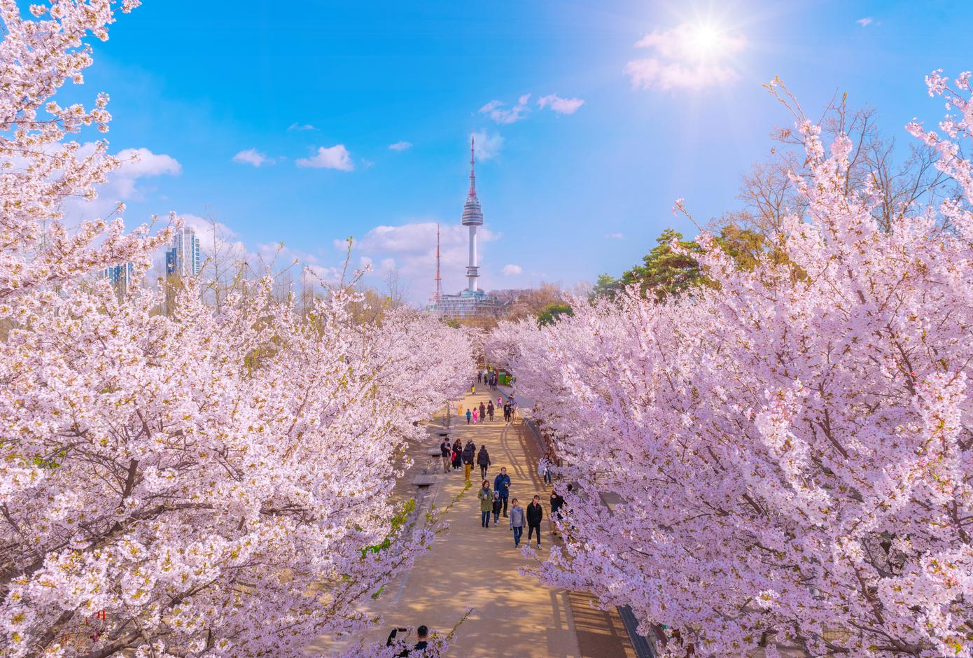 20 Countries Where You Can See The Japanese Cherry Blossoms Cuddlynest Travel Blog