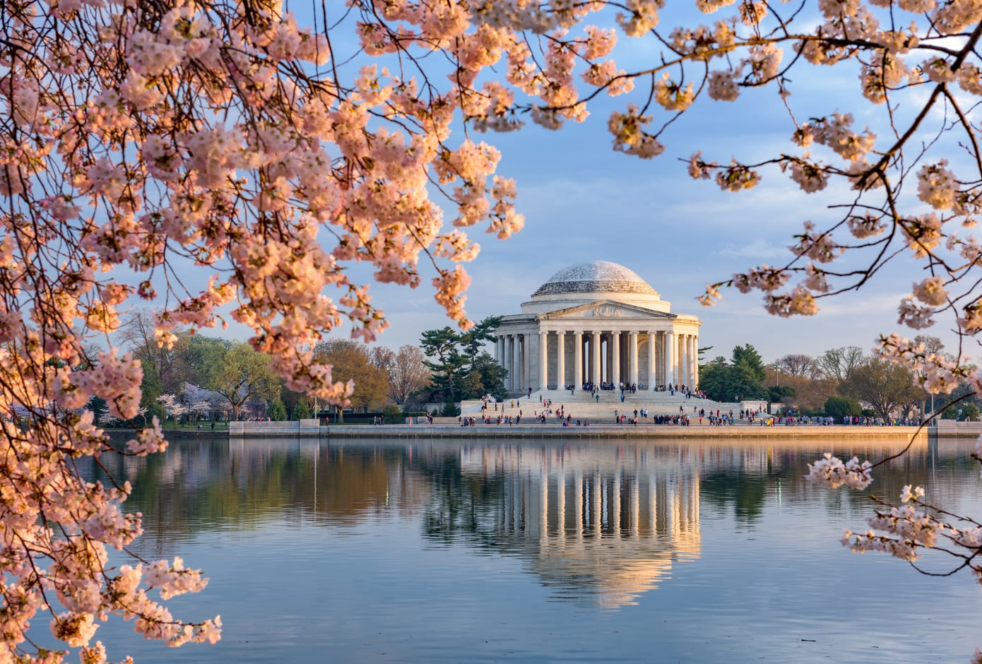 Cherry trees blooming in Washington DC.