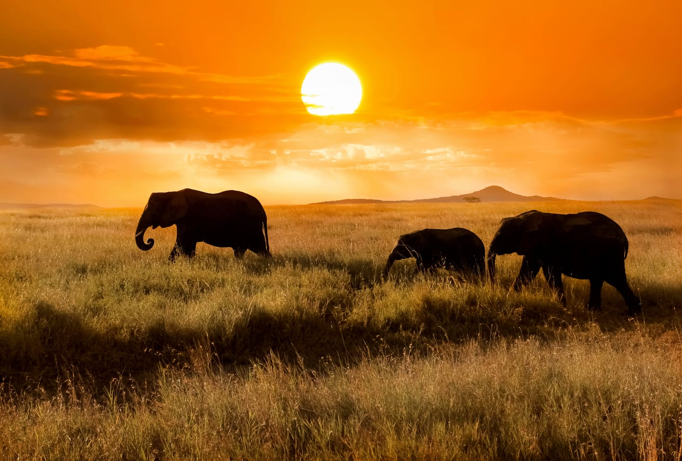 Three elephants during an orange sunset at the Serengueti National Park, in Tanzania, Africa.