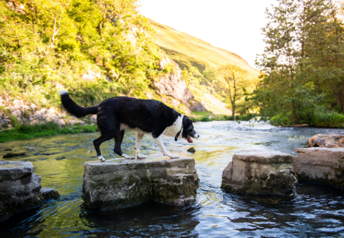 A working Dog, border collie cross Labrador crosses the famous Dovedale Stepping stones on one of the UK's most famous public walking, hiking routes the Derbyshire Peak District National Park