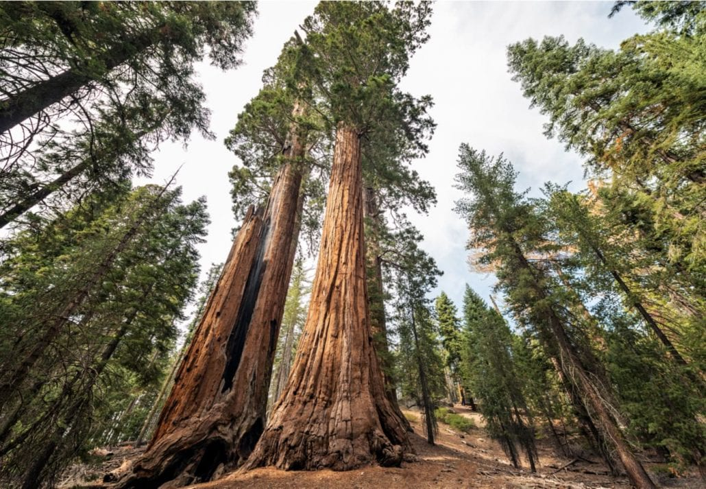 View at Gigantic Sequoia trees in Redwood National Park, California USA